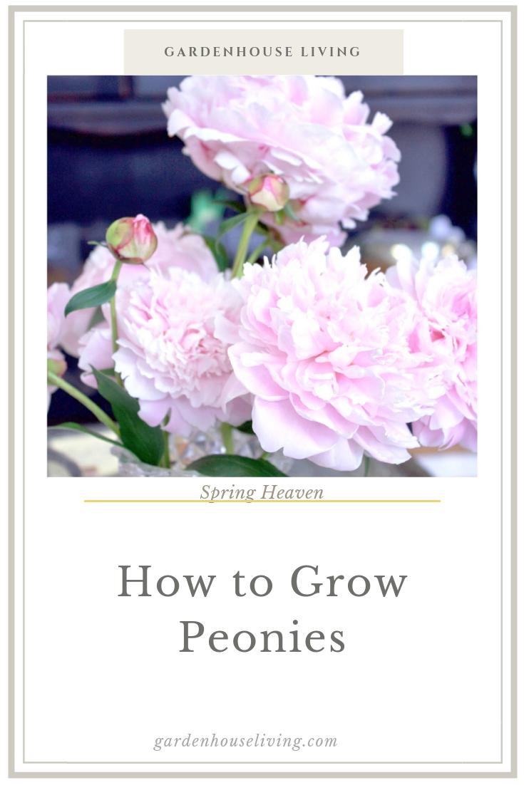 Growing Peonies